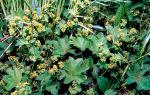 Трава манжетка при диабете сахарном 2 типа: лечебные свойства, применение