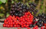 Рябина при сахарном диабете 2 типа: черноплодная, красная