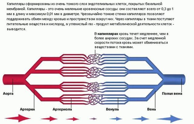 ВЕНОЛАЙФ - инструкция по применению, цена, отзывы и аналоги