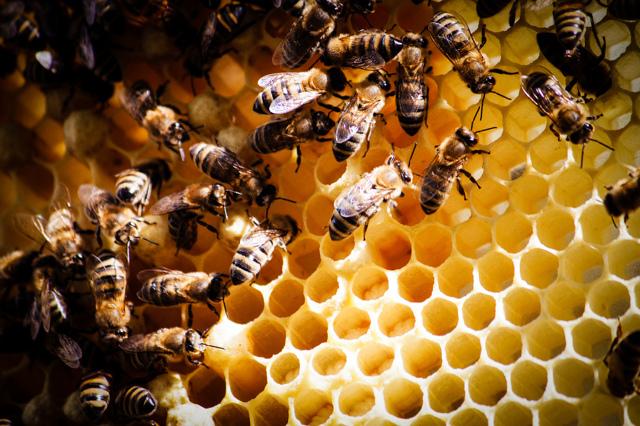 Пчелиная перга: полезные свойства, как принимать, отзывы, противопоказания