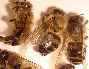Пчелиный подмор при диабете сахарном 2 типа: настойка для лечения