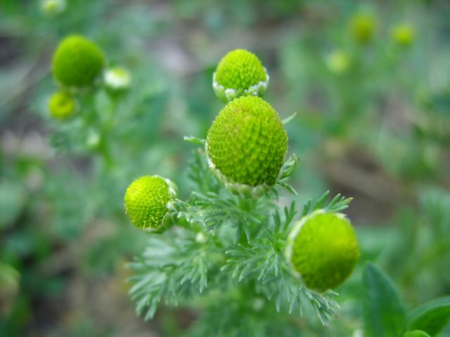 Травы при варикозе: каштан, доник, крапива, каланхоэ, софора японская, бессмертник, одуванчик, тысячелистник, ромашка